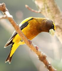 a guide to luring warblers tanagers orioles and grosbeaks to