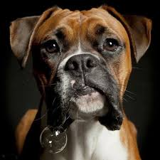 boxer dog keeps coughing 129 best images about just like paloma and ruby on pinterest for