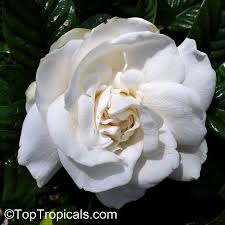 gardenia augusta gardenia jasminoides bush gardenia cape
