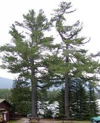 white pine trees pinus strobus eastern white pine description
