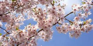 the best ornamental trees for sun