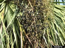 Palm Trees Fruit - sustaining the sabal palm florida u0027s state tree