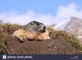 groundhog rodent alpine groundhog gopher mankei marmota autumn