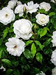 white roses for sale knockout tree for sale online the tree center