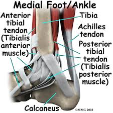 Anatomy Of The Calcaneus A Patient U0027s Guide To Ankle Anatomy Houston Methodist