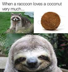 Racoon Meme - dopl3r com memes when a raccoon loves a coconut very much the