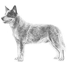 australian shepherd outline australian cattle dog breed information american kennel club