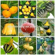 all varieties ornamental squash seeds squash seeds for sale buy