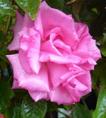 roses glendoick garden centre