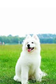 cute dog wallpapers white dog wallpaper hd wallpapers pulse
