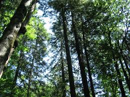 file looking up into trees jpg wikimedia commons