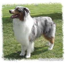 australian shepherd dog for sale australian shepherd puppies breeders shepherds
