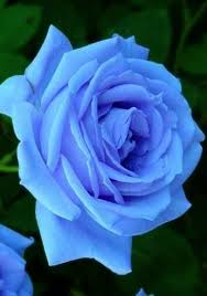best 25 blue roses ideas on pinterest rose meaning meaning of