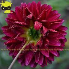 bloody mary double dahlia bonsai seeds 50 seeds fragrant garden