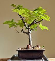 bonsai saule pleureur un erable sycomore histoires de bonsaï