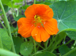 nasturtium flowers top ten companion plants porchside gardening for food and