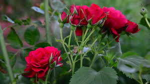 beautiful red rose flower blooms in garden with blurred trees and