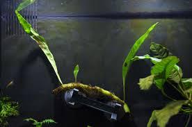 native aquarium plants native submerse growing ferns for the aquarium plants u0026 mosses