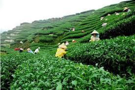 Teh Kayu Aro kayu aro tea plantation tantular