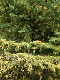 evergreen trees with yellow brown needles ask an expert
