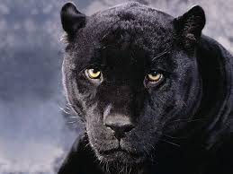 all black jaguar all about your life 11 facts about jaguars you must know