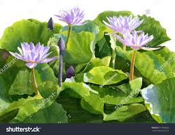 four lavender water lilies watercolor painting stock illustration