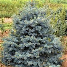 blue spruce colorado blue spruce tree buy at nature nursery