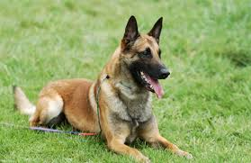 belgian shepherd breeds belgian malinois breed history information and pictures