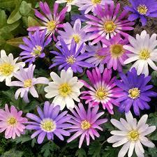 gardenersdream anemone blanda mixed winter windflower spring