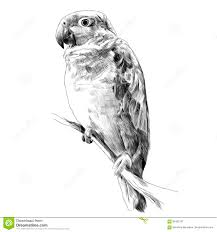 parrot amazon itting on a tree branch sketch vector stock vector