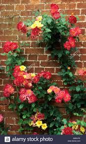 rosa masquerade floribunda rose climbing wall stock photo royalty