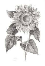 sunflower drawing by michal straska u2026 pinteres u2026