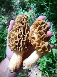 morel mushroom sudbury valley trustees