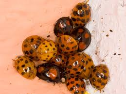in house meaning invading cannibal ladybirds take over britain u0027s homes the