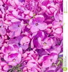 purple pink syringa vulgaris lilac or common lilac flowers