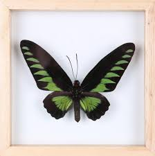 exotic thai framed butterfly see through butterfly frame home