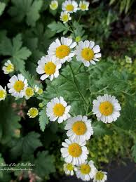 Daisy The Flower - 157 best tamie u0027s sunflowers and daisies images on pinterest