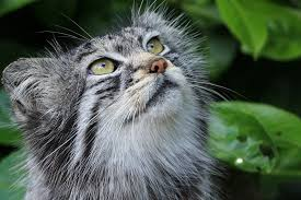 murmurs in cats symptoms causes diagnosis treatment recovery