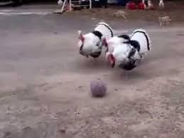 Funny Chicken Memes - funny chicken memes facebook youtube