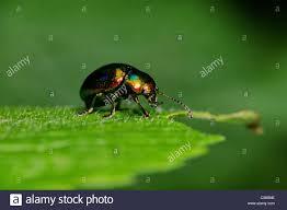 was ist das für ein insekt eine wanze oder was urlaub insekten toten nesselblatt käfer chrysolina fastuosa crysomelidae wanze