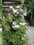 Clematis - Flower Facts & Garden Help