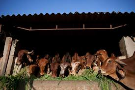 cows in india are herded to retirement homes instead of