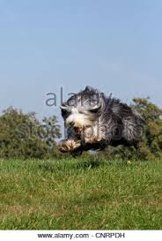 bearded collie mini bearded collie side stock photos u0026 bearded collie side stock