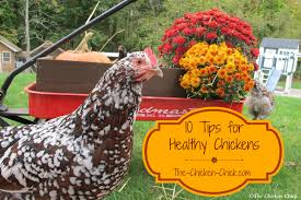 the chicken 10 tips for healthy chickens