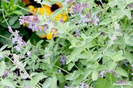 Catnip Flower - catnip plant nepeta cataria how to grow and care plantopedia