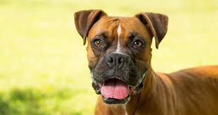 boxer dog for adoption middle tennessee boxer rescue