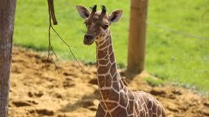 baby giraffe gives its mum the run around youtube