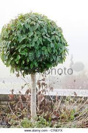 Laurel Topiary - bay tree topiary stock photos u0026 bay tree topiary stock images alamy