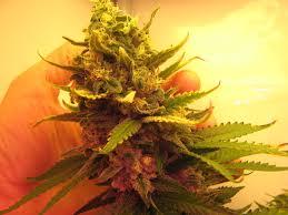 cannabis flower 4 weeks marijuana flowering cannabis growing