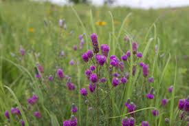 native prairie plants illinois reclaiming the prairie niu newsroom